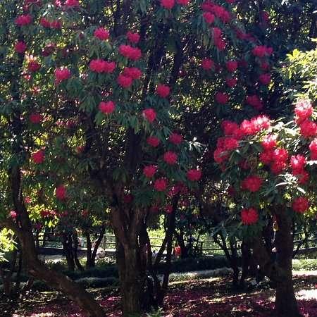 bosco rododendri di villa carlotta