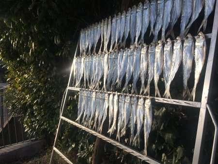 pesce agone lago di como
