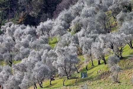 ulivi del Lago di Como
