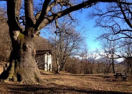 il rogolone, una quercia secolare