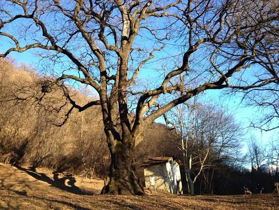 la pianta secolare Rogolone